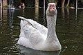 غاز -Geese 17.jpg