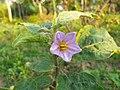 বেগুন ফুল - Brinjal Flower.jpg