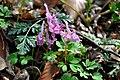 ბუჩქისძირა მოწითალო Corydalis cava hohler Lerchensporn.JPG