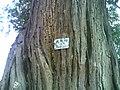 古树 - panoramio.jpg