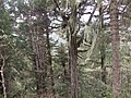 四川 黄龙-栈道长廊傍-挂满长须的原始树林 - panoramio.jpg