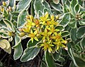 堪察加景天-斑葉 Sedum kamtschaticum 'Variegatum' -波蘭 Krakow Jagiellonian University Botanic Garden, Poland- (35924538103).jpg