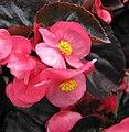 大花海棠 Begonia benariensis -香港花展 Hong Kong Flower Show- (33791945846).jpg