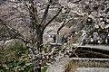 大藪のひがん桜(ひょうたん桜) - panoramio (5).jpg