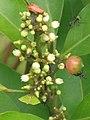 小花山小橘(山小橘) Glycosmis parviflora -香港西貢獅子會自然教育中心 Saikung, Hong Kong- (9229880574).jpg