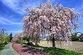 日中線のしだれ桜.jpg
