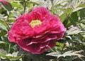 日本牡丹-金麗 Paeonia suffruticosa -菏澤百花園 Heze, China- (12537117935).jpg