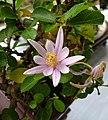 水蓮木 Grewia occidentalis -香港青松觀蘭花展 Tuen Mun, Hong Kong- (15530792601).jpg
