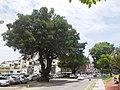 永福路一段旁的老榕樹 - panoramio.jpg