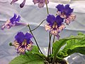 海角櫻草 Streptocarpus Exotica -香港花展 Hong Kong Flower Show- (13215243234).jpg