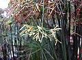 矮紙莎草 Cyperus prolifer -比利時國家植物園 Belgium National Botanic Garden- (9259214759).jpg