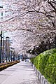 立川 桜道 南向き - panoramio.jpg