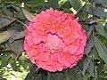 繡球樹 Brownea grandiceps -香港遮打花園 Charter Garden, Hong Kong- (9204845435).jpg