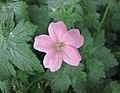 老鸛草屬 Geranium endressii Wargrave Pink -比利時 Leuven Botanical Garden, Belgium- (9156015935).jpg