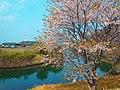船間島の桜 Sakura tree Funamajima - panoramio.jpg