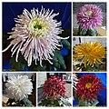 菊花 Chrysanthemum morifolium Cultivars 12 -上海松江方塔園 Song Jiang, Shanghai- (11961471343).jpg