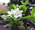 蘋果 Malus domestica v pumila -香港青松觀蘭花展 Tuen Mun, Hong Kong- (9237481511).jpg
