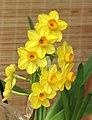 金磚水仙 Narcissus tazetta hybrid -香港花展 Hong Kong Flower Show- (33019701453).jpg