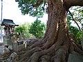 降幡神社跡のクスノキ 河南町山城にて Camphor tree at Furuhata-jinja 2013.3.30 - panoramio.jpg