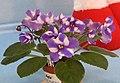 非洲紫羅蘭 Saintpaulia Lady Elizabeth -香港北區花鳥蟲魚展 North District Flower Show, Hong Kong- (31845236316).jpg