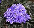 非洲紫羅蘭 Saintpaulia Ness Crinkle Blue -香港沙田紫羅蘭展 Shatin African Violet Show, Hong Kong- (9200965426).jpg