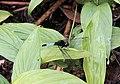 鼎脈蜻蜓 Orthetrum triangular - panoramio.jpg