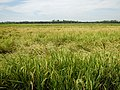 0201jfVentinilla Fields Nancamarinan Paniqui Camiling Tarlacfvf 29.JPG