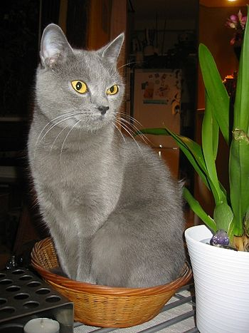 Chartreux - Robe Bleue - Yeux Ors