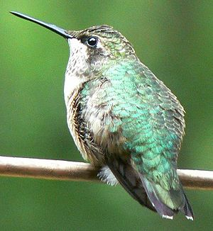 Ruby-throated hummingbird - Female ruby-throated hummingbird, Gadsden Co., Florida