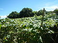 0885jfSan Ildefonso Remedios Plants Royal Skies Roadsfvf 02.JPG
