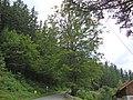 1215 Rotbuche Gal.JPG