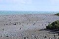 140 - Cap Virgenes - Manchot de Magellan - Janvier 2010.JPG