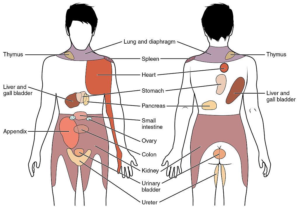 Healthy Body Weight Chart: 1506 Referred Pain Chart.jpg - Wikimedia Commons,Chart