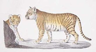 Liger - Colour plate of the offspring of a lion and tiger, Étienne Geoffroy Saint-Hilaire
