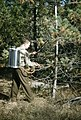 1959. Basal stem application of antibiotics for white pine blister rust control. Idaho. (35679554930).jpg