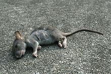 2008-09-11 Dead baby rat.jpg
