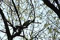 2010-04-07 (17) Grünspecht, (Eurasian) green woodpecker, Picus viridis.JPG