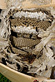 2011-07-31 16-59-41-vespula-nest.jpg