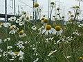 20120619Tripleurospermum inodorum1.jpg