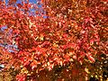 2014-10-30 10 08 19 Red Maple foliage during autumn along Dunmore Avenue in Ewing, New Jersey.JPG