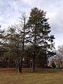 2014-12-30 12 20 09 Eastern Hemlocks near D Street at the College of New Jersey in Ewing, New Jersey.JPG