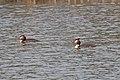 20140327 030 Kessel Weerdbeemden Fuut, Great Crested Grebe, Haubentaucher, Podiceps cristatus (13493474345).jpg