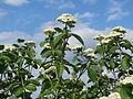 20140406Viburnum lantana19.jpg
