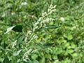 20140822Chenopodium album.jpg