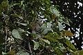 2014 Borneo Luyten-De-Hauwere-Crab eating Macaque-02.jpg