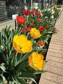 2015-03-31 10 21 40 Yellow and red tulips and white daffodils along Idaho Street (Interstate 80 Business) in Elko, Nevada.JPG