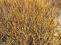 2015-05-03 15 17 30 Closeup of willows at about 9620 feet in Trail Canyon within the Boundary Peak Wilderness, Nevada.jpg