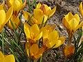 20150307Crocus chrysanthus1.jpg