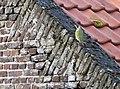 20150419 007 Kessel Weerdbeemden Groenespecht, European Green Woodpecker, Grünspecht, Picus viridis (17201110081).jpg