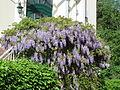 20150506Wisteria floribunda1.jpg